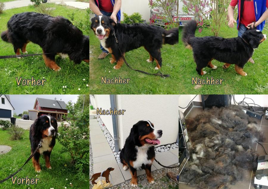 Berner Sennen Hund Faustus :) Sein erstes mal :) Mit Leberwurst geht alles :))