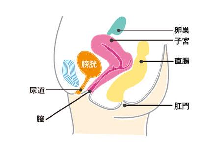 骨盤内臓器