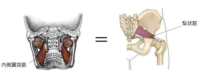 内側翼突筋と骨盤の関連性