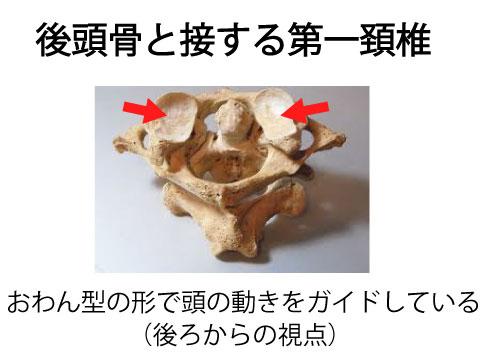 後頭骨と第一頸椎