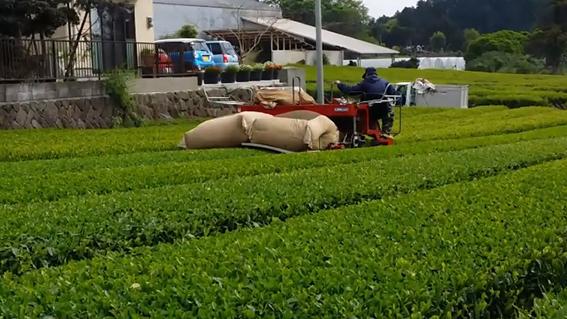 八十八夜の茶摘み風景:鈴木養鶏場の茶畑にて