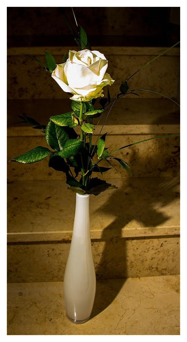 Rose 4. Woche 2015