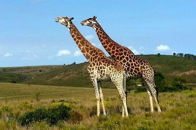 Giraffen an der Gartenroute