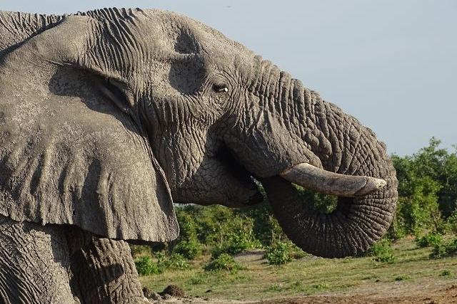 Elefant in Savuti