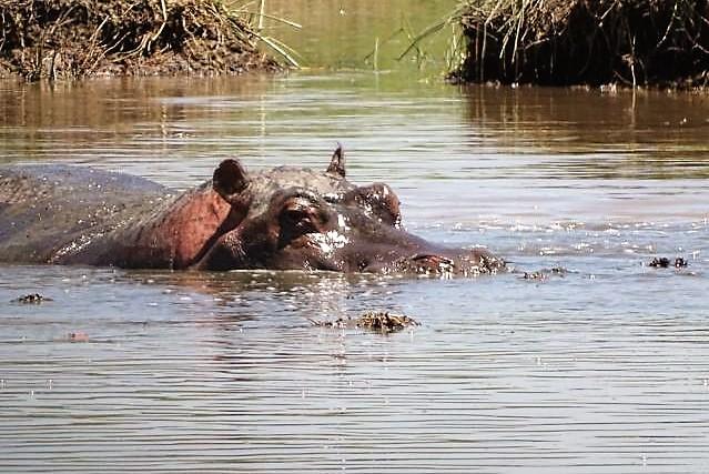 Flusspferd Rufiji River
