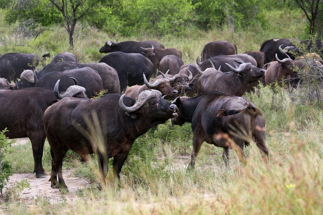 Büffelbeobachtung