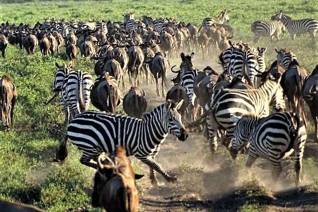 Große Tiermigration in der Serengeti