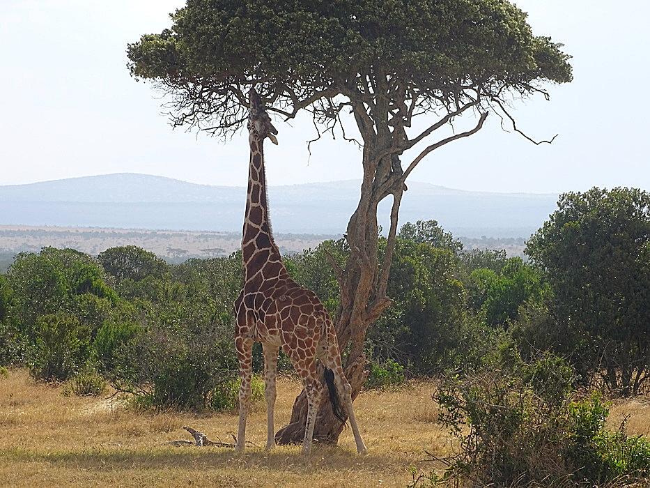Giraffe  Kenia