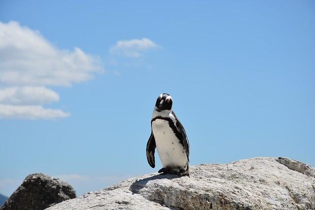 Pinguin am Bolder's Beach