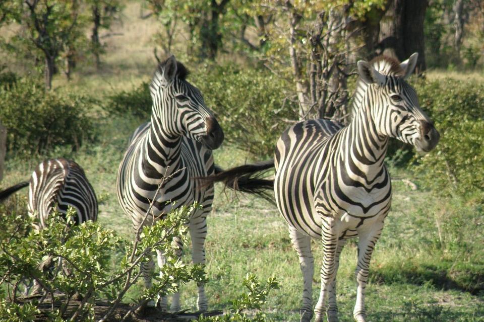 Zebras im Chobe Nationalpark