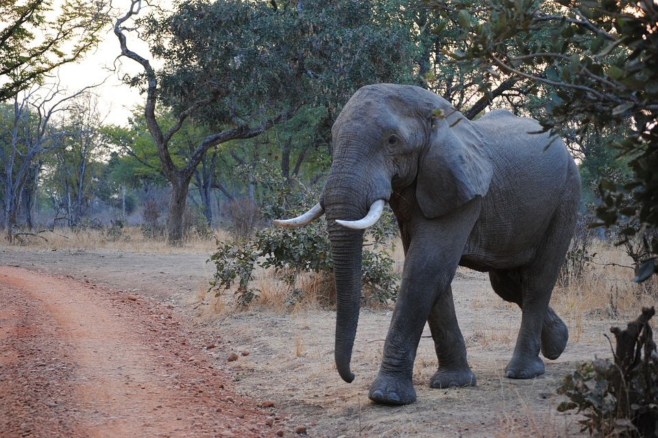 Elefant in Sambia