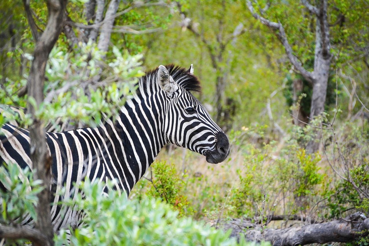 Zebra-Sichtung im Krüger Nationalpark