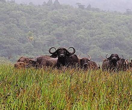 Büffel Arusha Nationalpark, Tansania Safari
