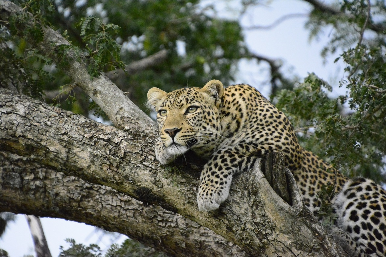 Leopard in der Masai Mara