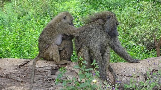 Paviane am Ngorongoro Krater