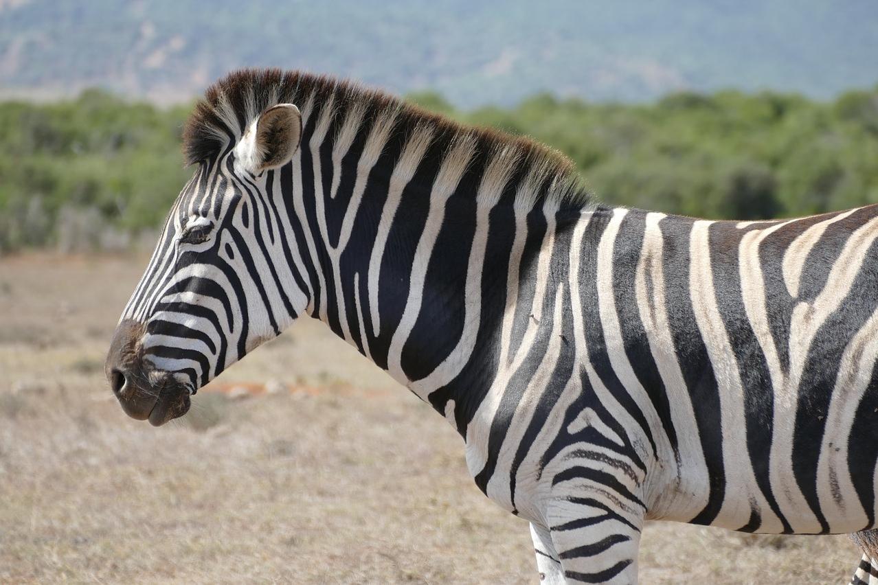 Zebra im Addo
