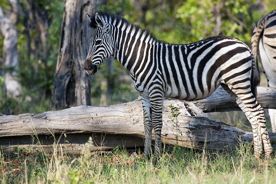 Zebra im Okavango Delta