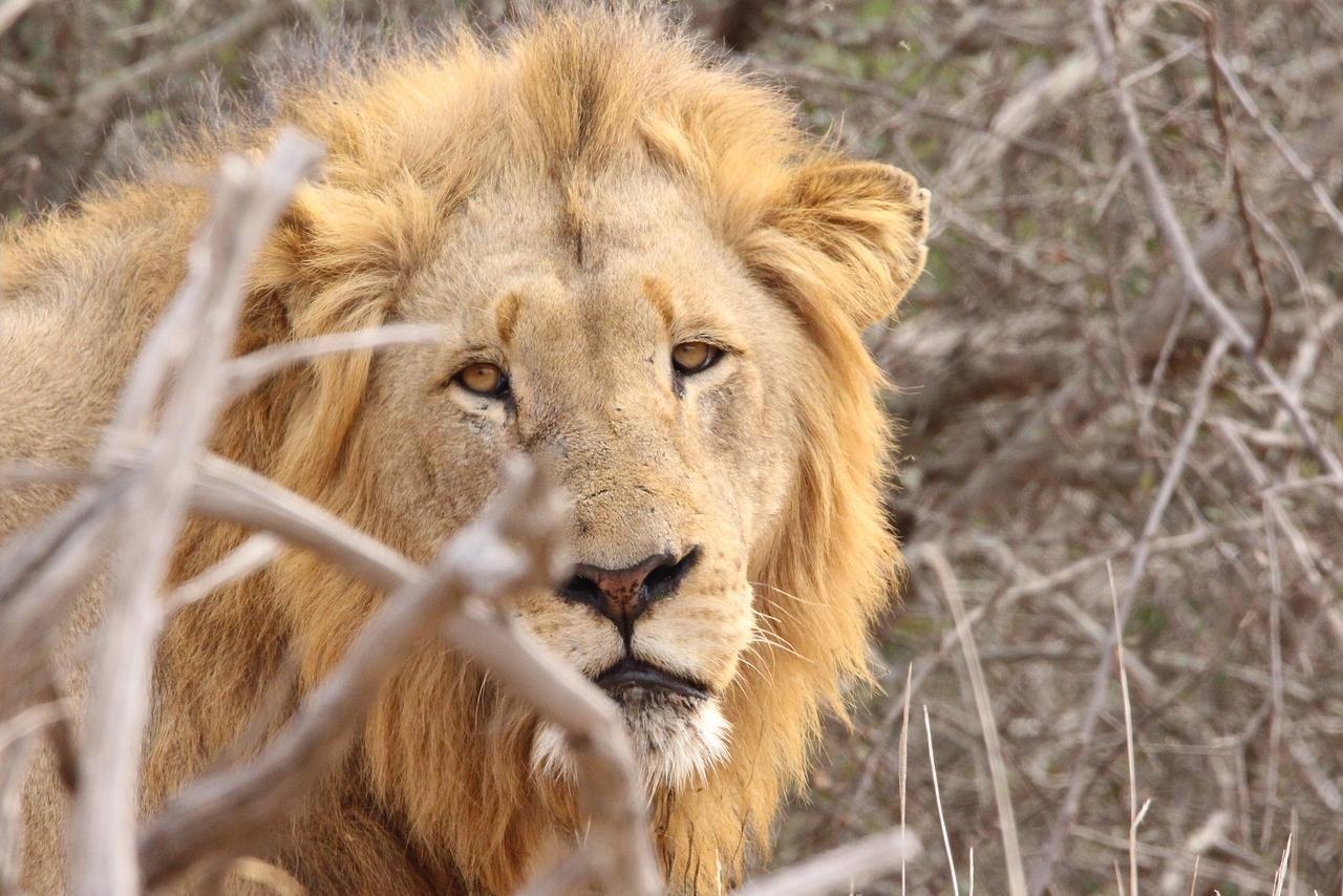 Löwen-Sichtung im Timbavati Game Reserve