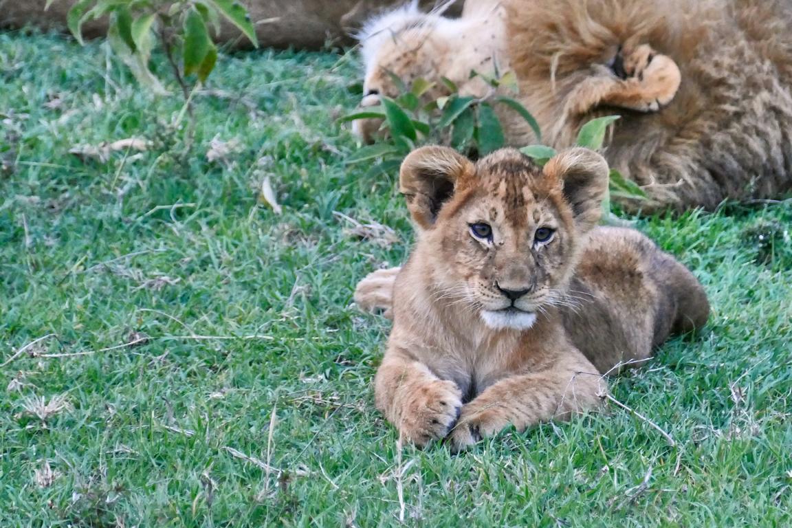 Löwenjunges in Ol Kinyei