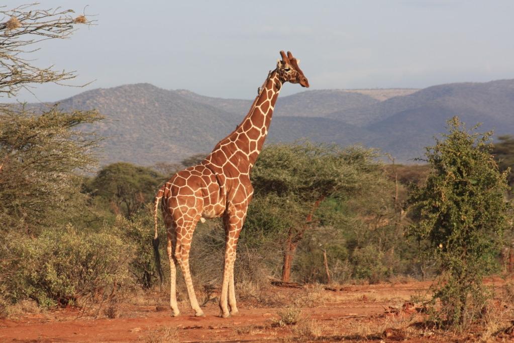 Giraffe in der Nähe der Lodge