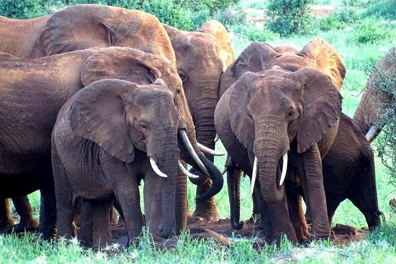 Rote Elefanten im Tsavo West