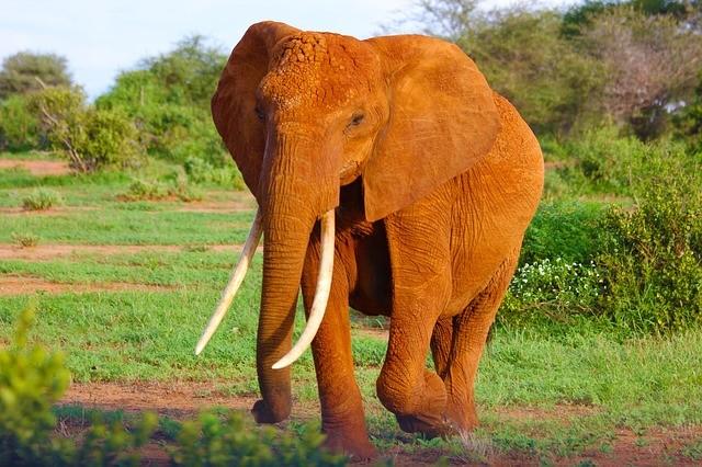 Elefant in Simbabwe