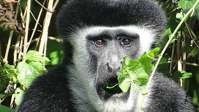 Colobus-Affe am Arusha Nationalpark