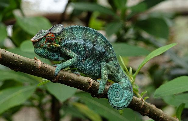 Chamäleon auf unserer Madagaskar Reise