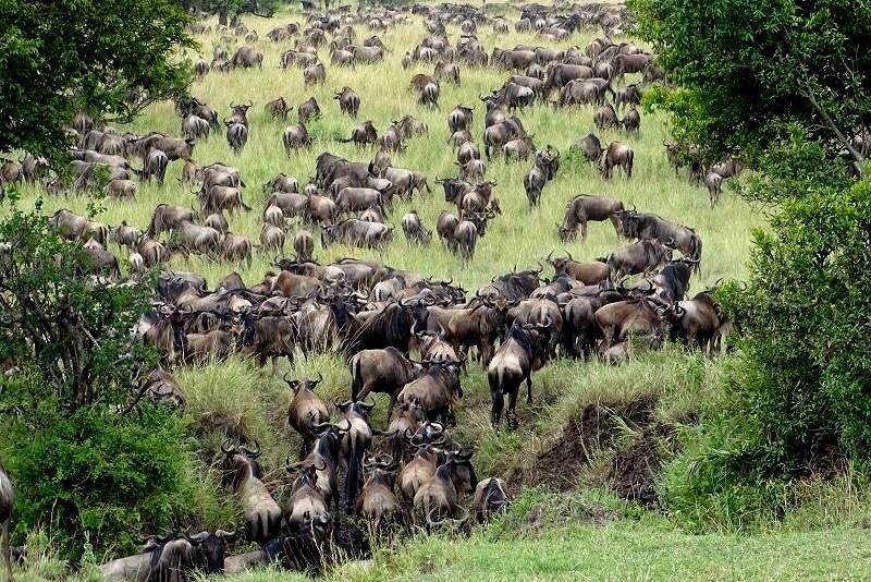 Große Gnu-Migration