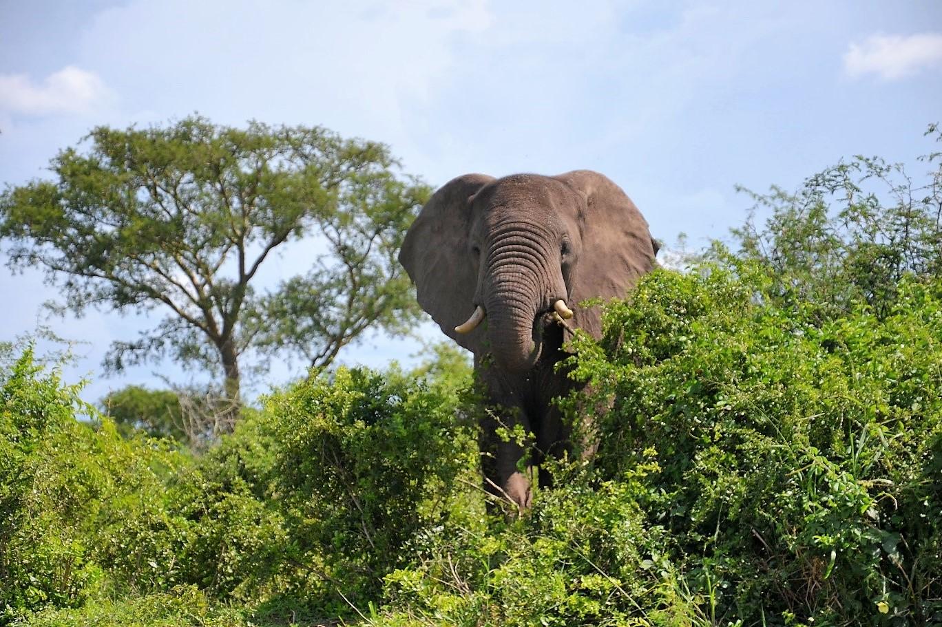 Elefant am Kazinga-Kanal
