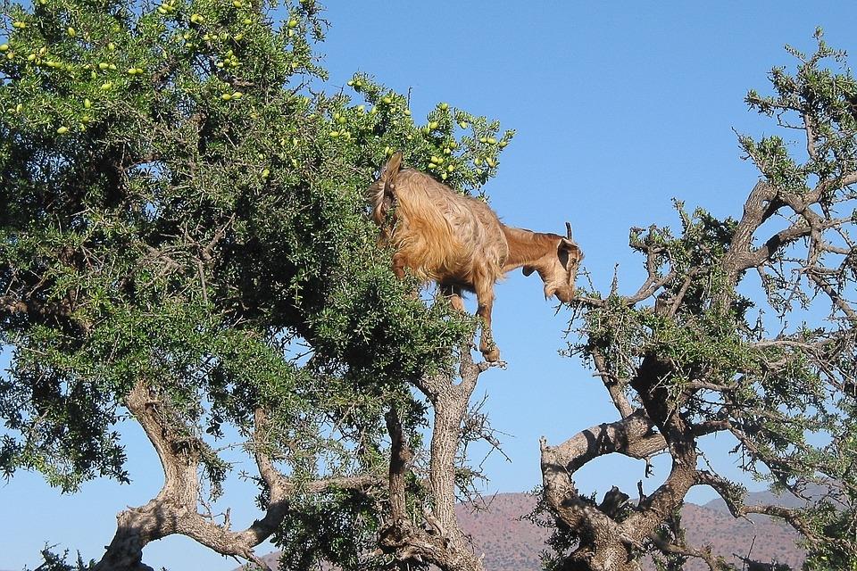 Ziegen auf einem Argan-Baum