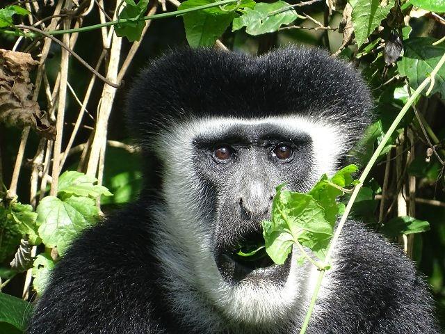 Colobusaffe Arusha Nationalpark
