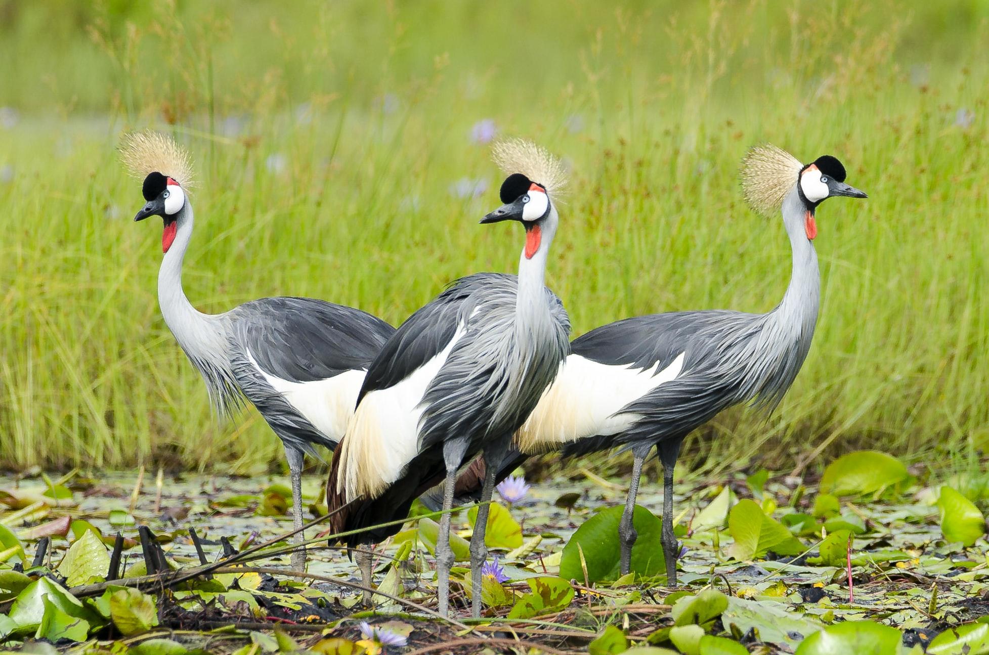 Kronenkranich - Wappentier Ugandas