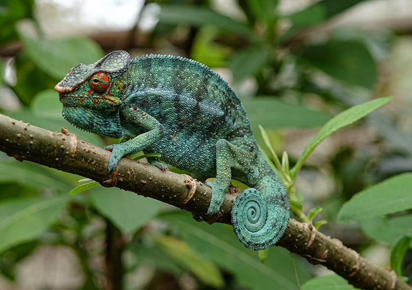 Chamäleon in Madagaskar