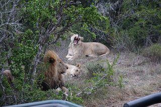 Löwen im Sibuya Reservat