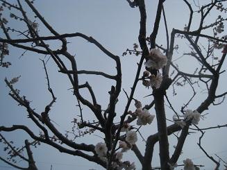 梅も桜も一緒に咲きます