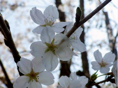 今年も美しい桜が見られました。