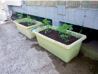 ミニトマト。社内菜園始めました!