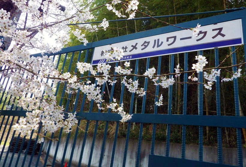 春爛漫 桜がきれいです。