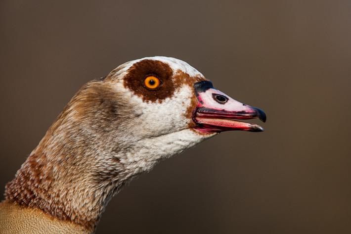 Portrait Nilgans (Alopochen aegyptiacus) / Egyptian Goose