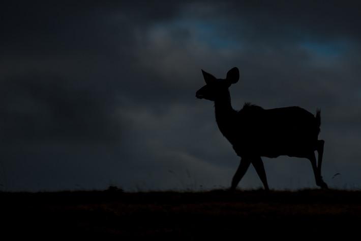 Große Kudu (Tragelaphus strepsiceros) / Greater kudu