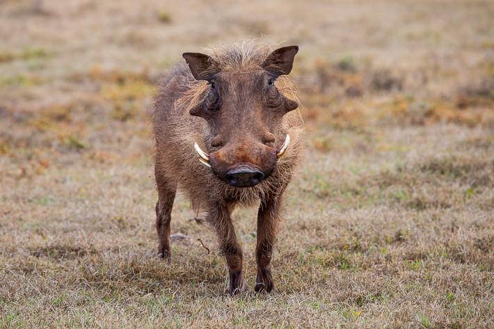 Warzenschwein (Phacochoerus africanus) / Warthog