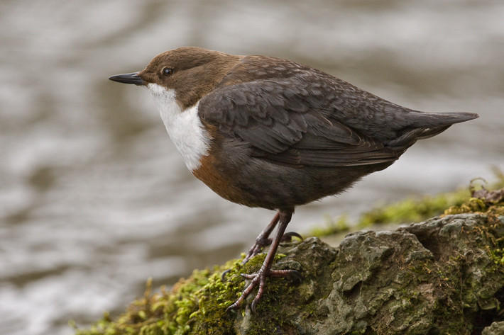 Wasseramsel (Cinclus cinclus) / White-throated Dipper