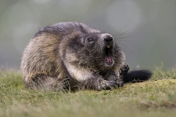 Bild 1: Der dicke Pummel beim gähnen.