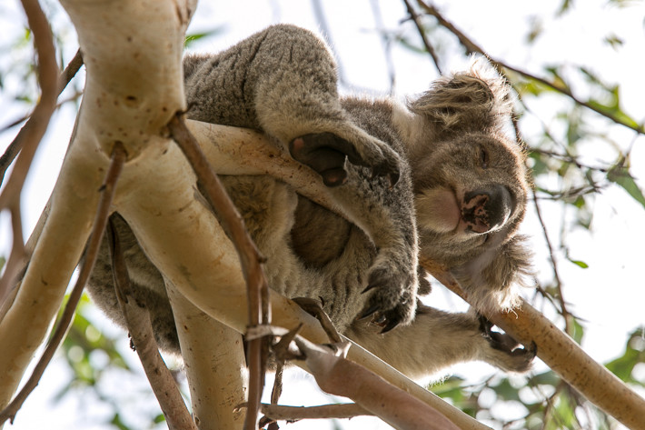 Koalas schlafen bis zu 20 Stunden am Tag in den Bäumen.