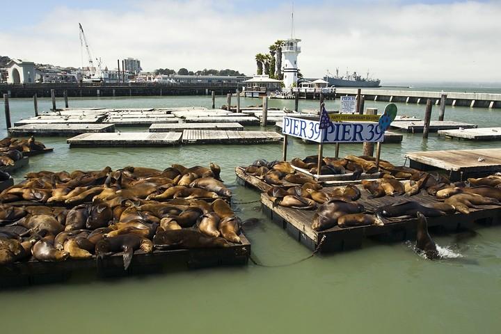 Kalifornischen Seelöwen am Pier 39.