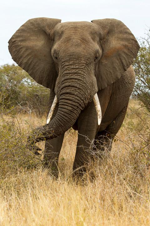 Afrikanischer Elefant / Steppenelefant (Loxodonta africana)