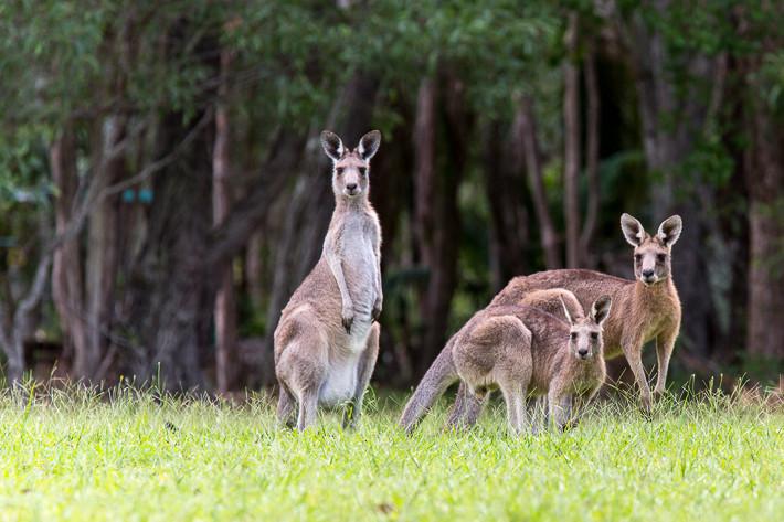 Wildlife in East Australia