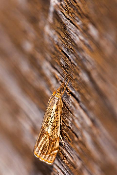 Zünsler (Thisanotia chrysonuchella)