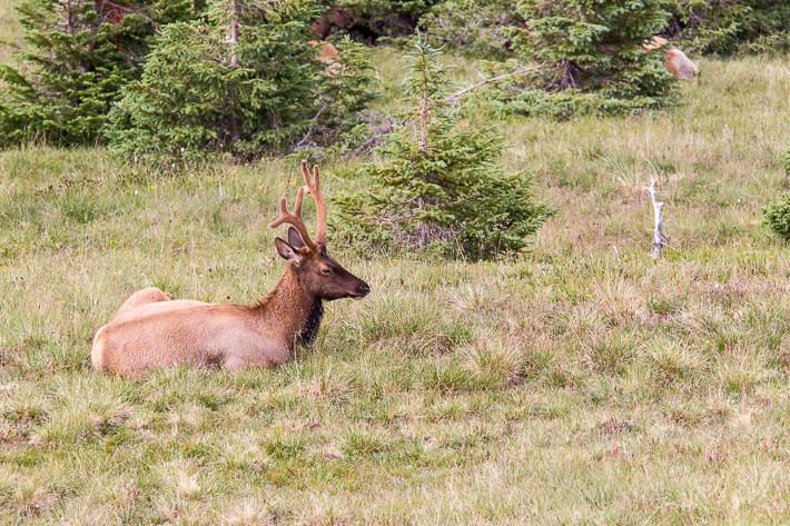 Wapiti (Cervus canadensis) / elk